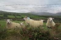 Záhadné ovce